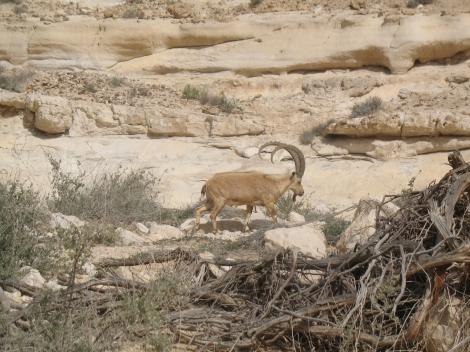 Ibex auf dem Weg zu Ein Akev